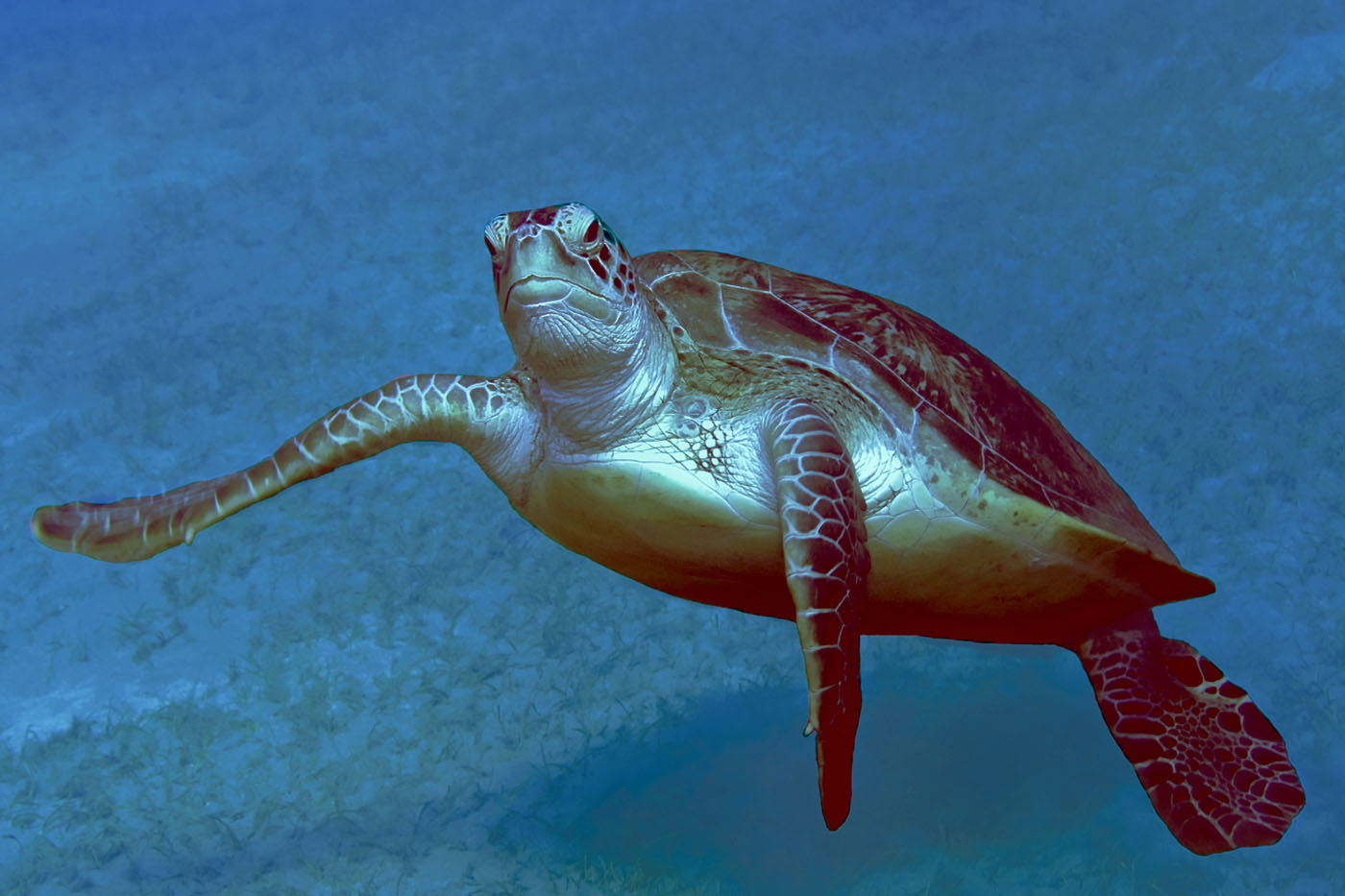 Schildkröte