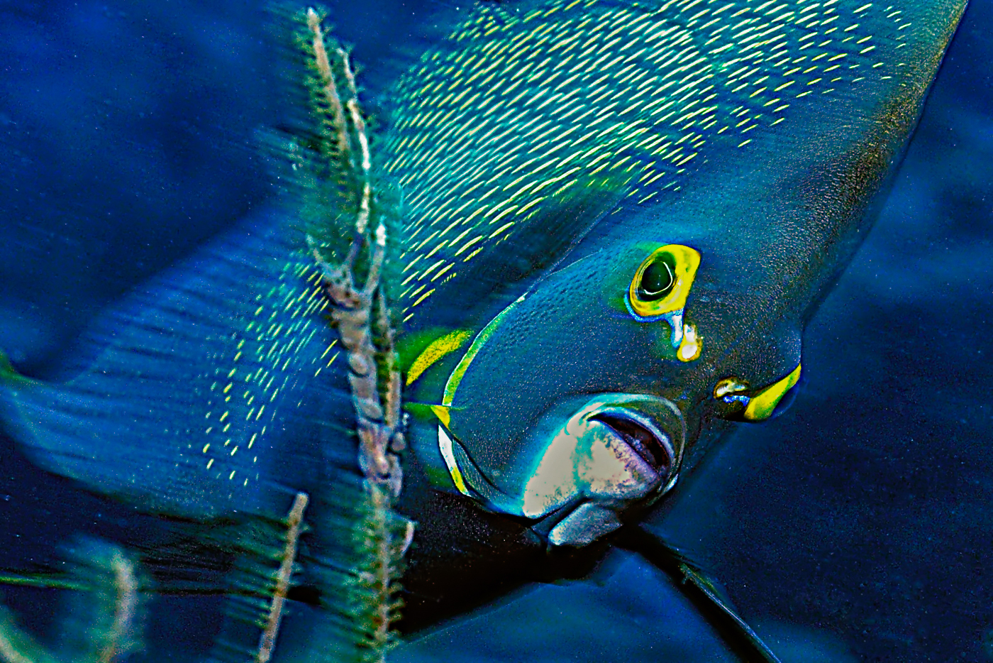 Franzosenkaiserfisch-Porträt